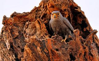 Graufalke im Morgenlicht im Murchison Falls Nationalpark Uganda (Falco ardosiaceus) | grey kestrel, Murchison Falls National Park Uganda (Falco ardosiaceus)