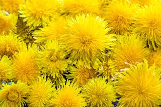 Dandelion flowers, background
