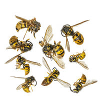 Tote Wespen liegen zusammengekrümmt freigestellt vor weißem Hinergrund