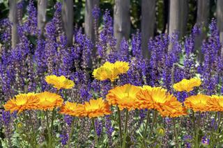 Steppen-Salbei; Salvia nemorosa, Ringelblumen, Calendula