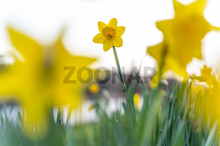 Close-up of daffodils in March