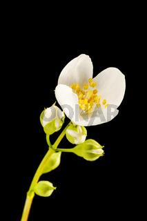 Blossom philadelphus coronarius five buds apperture 22