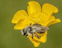 Weiden-Sandbiene 'Andrena vaga'