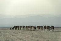 Dromedar-Karawane transportiert Steinsalzplatten über den Assale Salzsee, Afar Region, Äthiopien