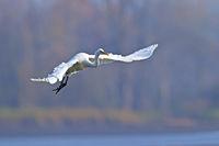 Silberreiher Flugfoto