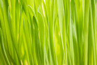 fresh green oat grass abstract