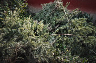 Christmas trees at recycling center