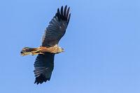 Rohrweihe Flugfoto vom Maennchen / Circus aeruginosus