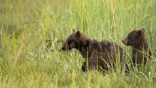Young Grizzly Bear cubs running in the tall grass looking for thier Mother