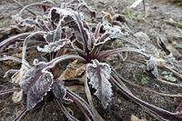 Reif-Kristalle auf den Blättern einer Roten Beete (Beta vulgaris ssp. vulgaris)