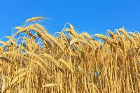 golden ripe wheat