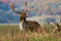 Fallow deer stag with antlers standing on meadow in autumn.