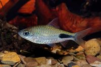 Cyprinid fish Enteromius rohani in freshwater aquarium
