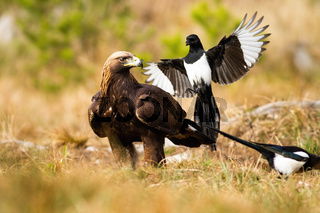 Aggressive eurasian magpie attacking golden eagle in flight