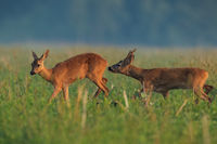 Roe deer male sniffing female on field in summer nature.