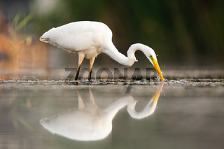 Great egret drinking in water in summertime nature