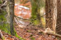 Herbstlicher Buchenwald mit einer Kohlmeise auf einem blattlosen Ast vor unscharfem Hintergrund