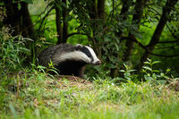 European badger coming out of forest on green meadow in summer