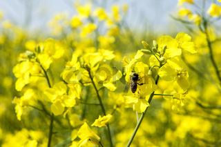 Honigbiene auf einer Rapsblüte im Rapsfeld