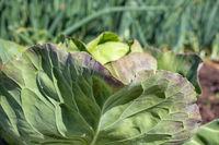 Dutch allotment garden with cauliflower in springtime
