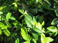 Kleines Immergrün, Vinca minor, ein Bodendecker im Garten