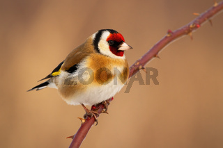 European goldfinch sitting on thorned branch in winter