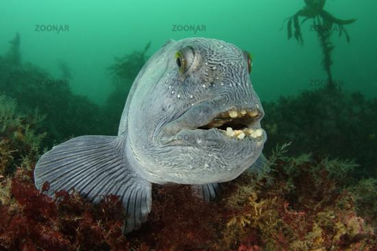 Anarhichas lupus, Gestreifter oder Atlantischer Seewolf, Atlantic wolffish, Island, Iceland
