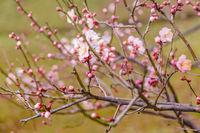 Sakura Flowers, Imperial Palace Park, Tokyo, Japan