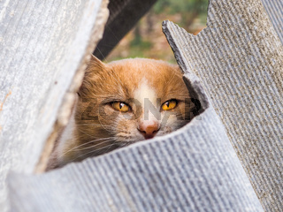 A ginger cat with yellow eyes peeps out of a crack between broken sheets of slate.