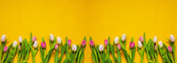 Banner Of Yellow And Pink Tulip Spring Flowers, Yellow Background