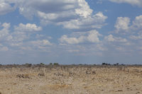 Steppenzebras im Etosha Nationalpark