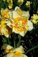 Narzisse, Narcissus, Bianca Maria