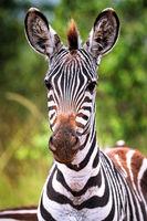 Zebras im Lake Mburo Nationalpark in Uganda (Equus quagga)   Zebras at Lake Mburo National Park in Uganda (Equus quagga)