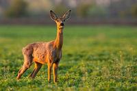 Roe deer doe looking on green glade in spring sunlight