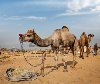 Camels at Pushkar Mela (Pushkar Camel Fair). Pushkar