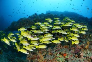 Lutjanus kasmira, Blaustreifen Schnapper, Common Bluestripe snapper, Malediven, Maldives