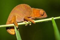 Colorful chameleon in a close-up in the rainforest in Madagascar