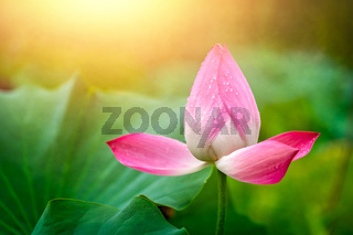 Blooming pink lotus flower  in summer