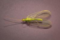 Eine Netzflügler (Neuroptera, Syn.: Planipennia) auch Hafte genannt