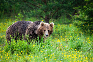 Strong brown bear sneaking from behind tall green grass in summer