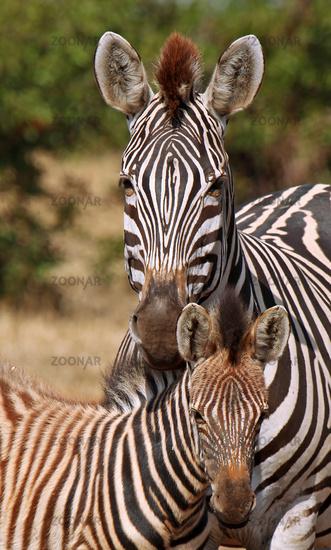 Steppenzebras, Jungtier und Mutter, Südafrika, Kruger Nationalpark, South Africa, Plains Zebra, Perissodactyla, Equus quagga