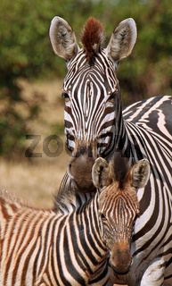 Steppenzebras, Jungtier und Mutter, Südafrika, Kruger Nationalpark, South Africa, Plains Zebra, Perissodactyla, Equus quagga