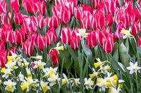 Rotweisse Greigii Tulpen Plaisir mit gelben Narzissen
