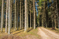 Dirt road in a spruce forest a summer day