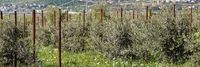 Olivenplantage mit jungen Bäumen