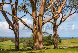 Group of three rainbow eucalyptus trees with golf course on Kauai
