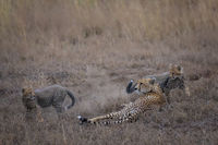 Cheetah cubs playing around their mother
