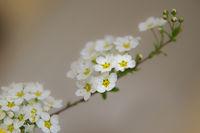 Prachtspiere im Frühling