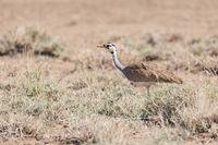 african bird white-bellied bustard, Ethiopia