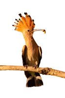 Eurasian hoopoe holding a larva on branch cut out on blank.